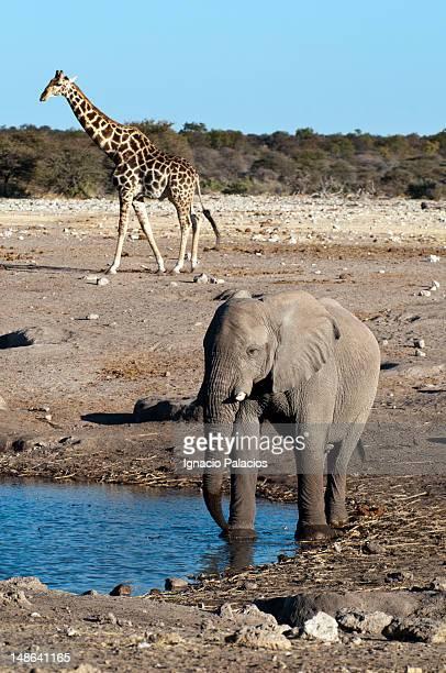 Elephant drinking in waterhole with giraffe in background.