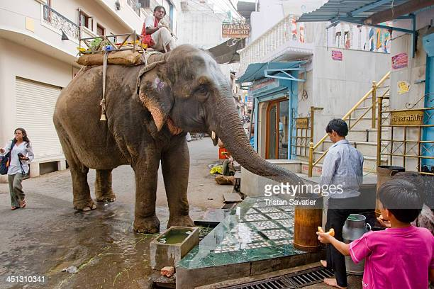 Elephant drinking water from bucket in a street of Udaipur. The mahout is the person sitting on the elephant and driving him. When people give the...