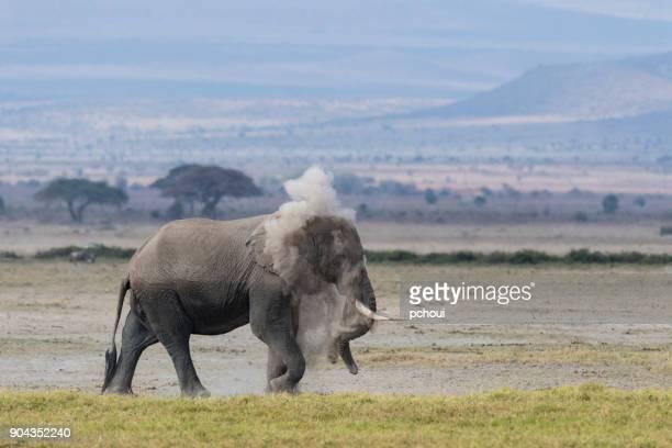 elephant dust bathing, loxodonta africana,kenya africa - amboseli stock photos and pictures