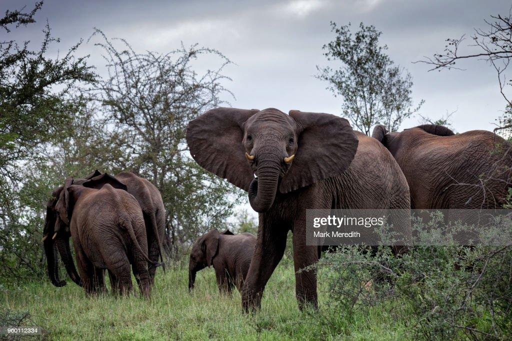 Elephant encounter in Klaserie Reserve, Greater Kruger National Park : Stock-Foto