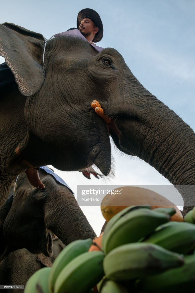 Elephant enjoys his buffet before starting the polo match during the 2017 King's Cup Elephant Polo tournament at Anantara Chaopraya Resort in Bangkok, Thailand on March 12, 2017. The King's Cup Elephant Polo is one of the biggest annual charity events in Thailand. Since the first tournament, originally held in the seaside town of Hua Hin, 50 street elephants have been rescued. The annual event allows for a further 20 young elephants to be taken off the streets for the duration of the tournament, providing them with the best food possible, as well as the only proper veterinary check they receive all year.Elephants are a proud cultural symbol of Thailand's history.
