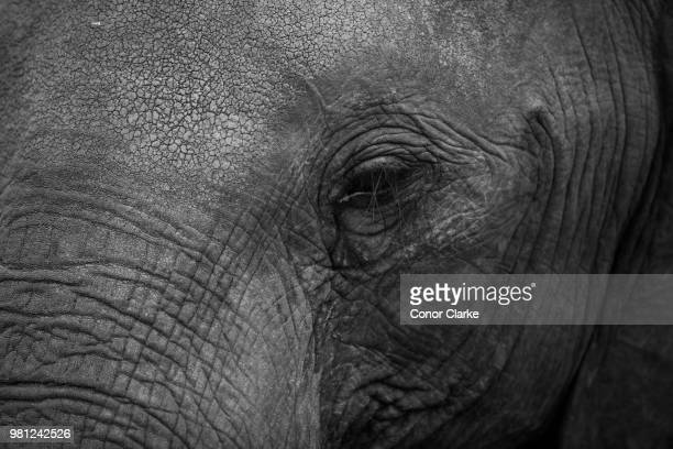 elephant eye - conor stock pictures, royalty-free photos & images