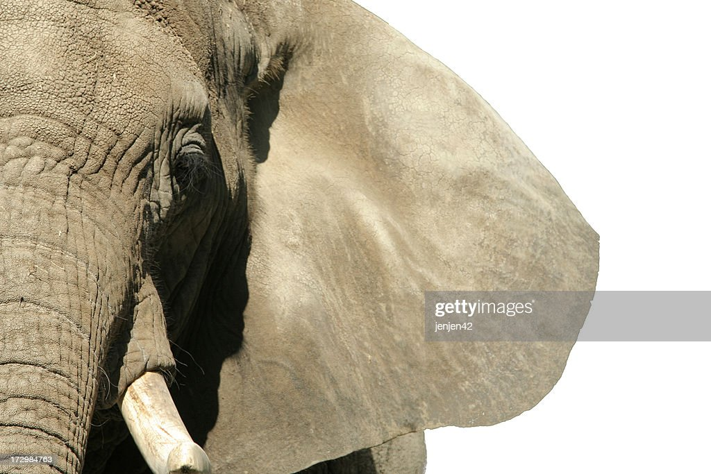Elephant Face : Stock Photo