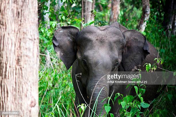 elephant facing camera - kerala elephants stock pictures, royalty-free photos & images