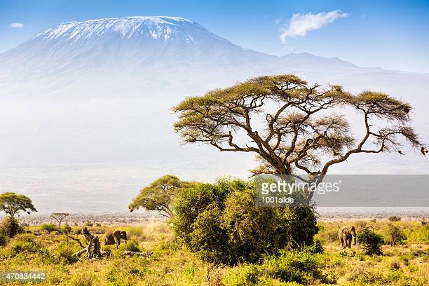 Elephant familiy and Mount Kilimanjaro with Acacia