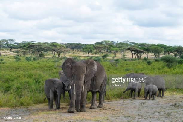 elephant family, africa - safari animals stock pictures, royalty-free photos & images