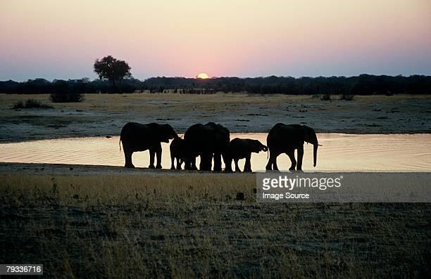 Elefante familia al atardecer