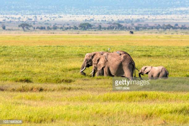 elephant family in the marsh at amboseli national park with calf - safari animals stock pictures, royalty-free photos & images