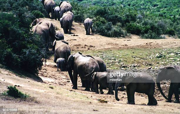 elephant family leaving waterhole - big arse stock pictures, royalty-free photos & images
