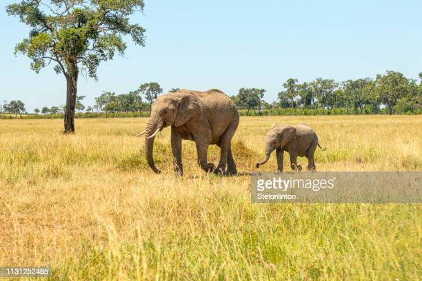 elephant family - safari animals stock pictures, royalty-free photos & images