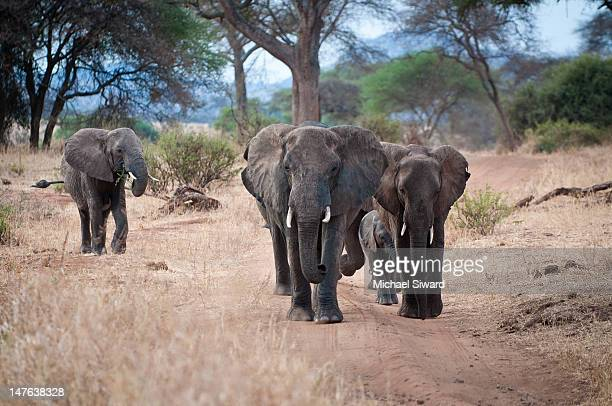 elephant family - michael siward stock pictures, royalty-free photos & images
