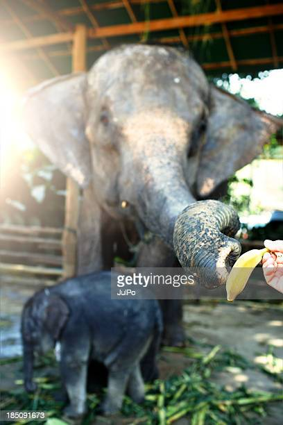 elephant family - animal nose stock pictures, royalty-free photos & images