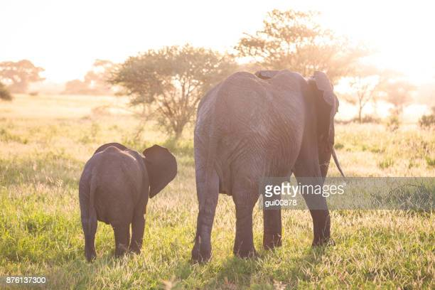 elephant family - tarangire national park stock pictures, royalty-free photos & images
