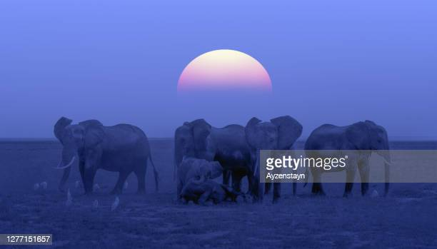 elephant family protecting resting elephant calfs at sunset at wild - animals in the wild stock pictures, royalty-free photos & images