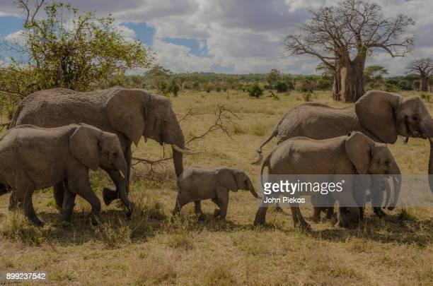 elephant family surrounds baby elephant - tarangire national park stock pictures, royalty-free photos & images