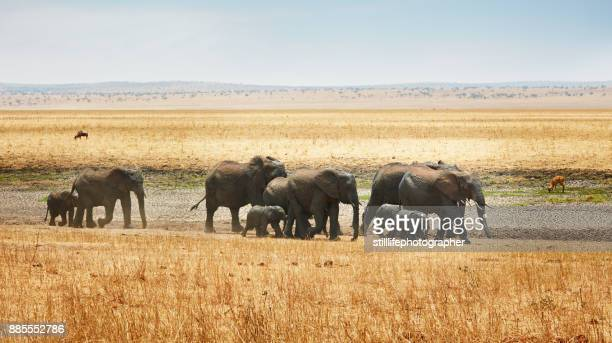 elephant family, with babies and matriarch, on open savanna in tarangire national park - tarangire national park stock pictures, royalty-free photos & images