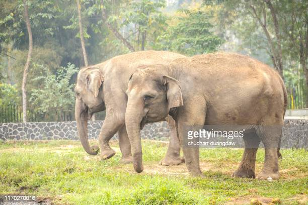 elephant foot, elephant legs with chain in national park - indian elephant stock pictures, royalty-free photos & images