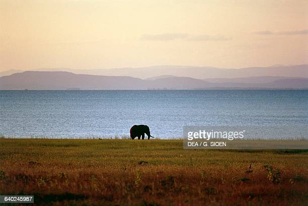Elephant Fothergill Island Lake Kariba Zimbabwe