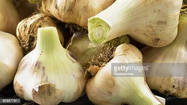 Elephant garlic Allium ampeloprasum