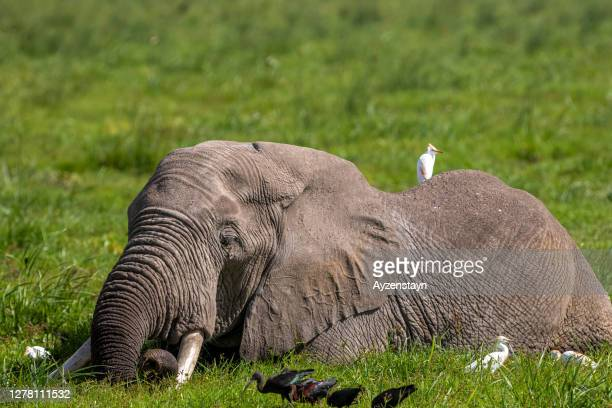 elephant grazing at marsh area with water birds, wetland - national landmark stock pictures, royalty-free photos & images
