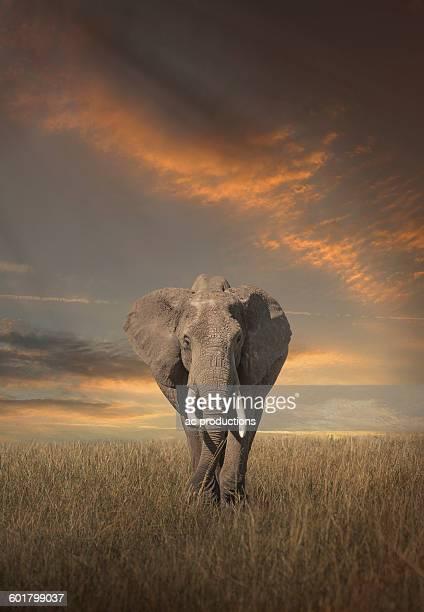 Elephant grazing in savanna field