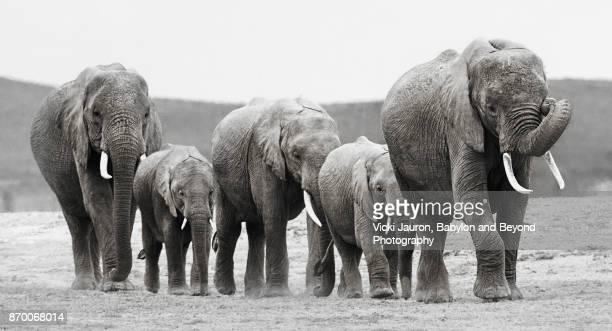 Elephant Group Marching in Line in Amboseli, Kenya