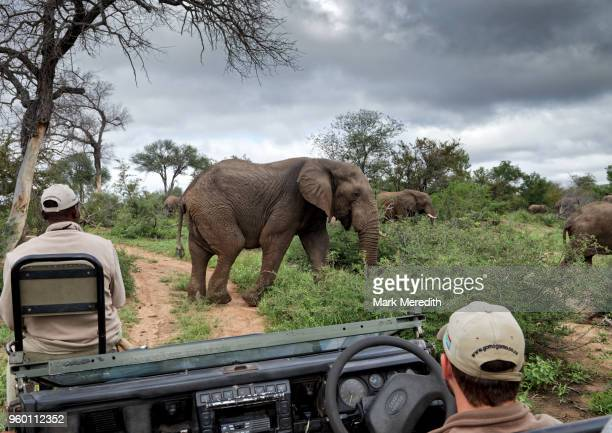 elephant group pass in front of safari vehicle with tracker and guide, in klaserie reserve, greater kruger national park - mpumalanga province stock pictures, royalty-free photos & images