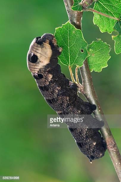 Elephant hawk moth caterpillar eating leaves from tree