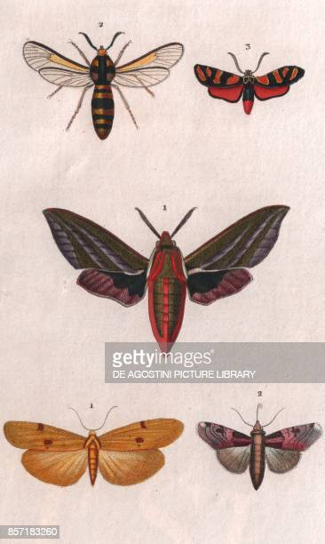 1 Elephant hawkmoth 2 Hornet moth or Hornet clearwing 3 Vine bud moth 1 Fourspotted footman 2 Noctua delphini colour copper engraving retouched in...