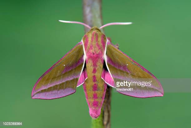 Elephant Hawk-moth on twig