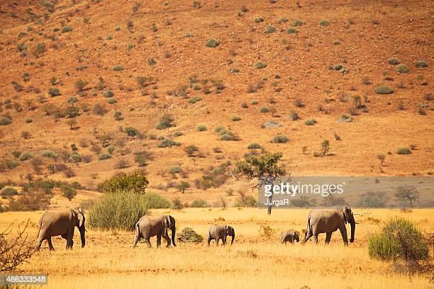 Elephant Heard Following Matriarch Elephant - Safari in Africa, Namibia
