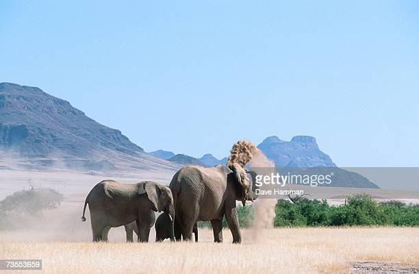 Elephant Herd - Dust Bathing