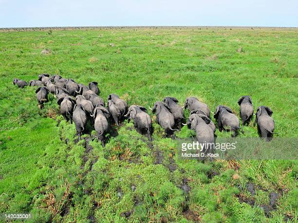 elephant herd in swampland, shambe game reserve west of the nile, republic of south sudan - 南スーダン ストックフォトと画像