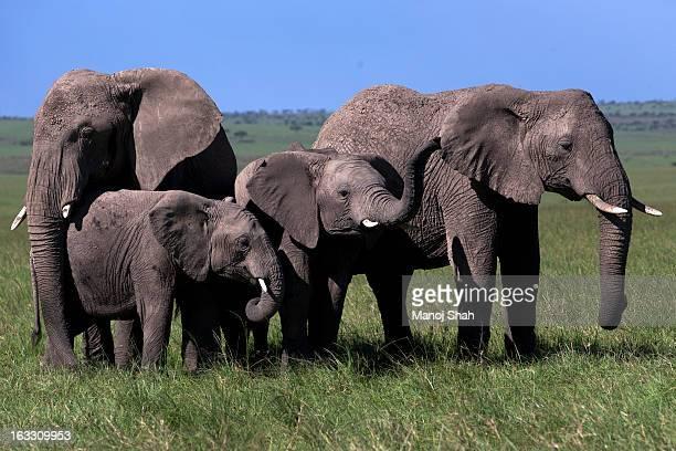 Elephant herd mourning
