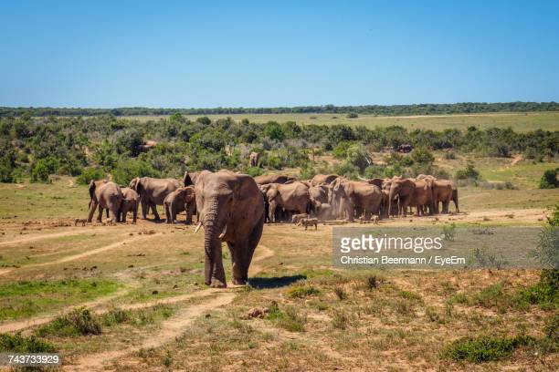 elephant herd on landscape against clear sky - port elizabeth südafrika stock-fotos und bilder