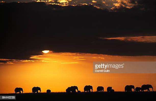 Elephant herd on ridgeline silhouetted sunrise