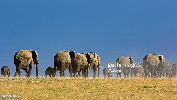 elephant herd - desert elephant stock pictures, royalty-free photos & images