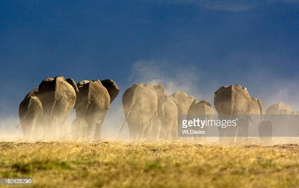 elephant herd - big bums stock photos and pictures
