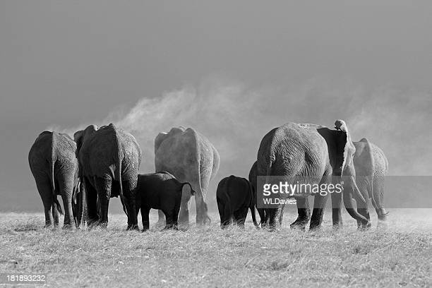 elephant herd - big arse stock pictures, royalty-free photos & images