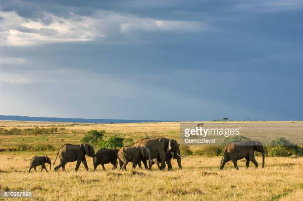 Elephant Herd Walking Across African Plain