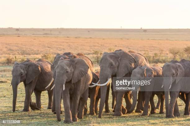 Elefante africano rebaño caminando a través de planos