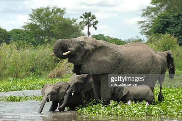 Elefanten-Herde mit Babys auf den Fluss