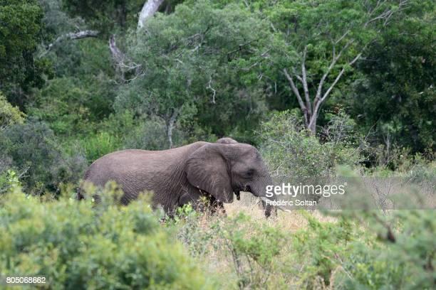 Elephant HluhluweImfolozi National Park on April 16 2017 in South Africa