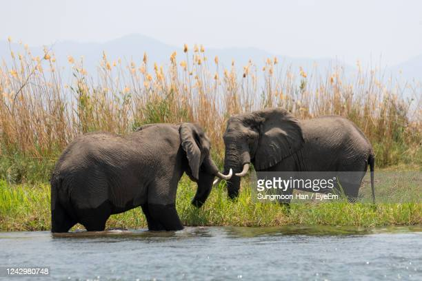 elephant in a farm - zambezi river stock pictures, royalty-free photos & images