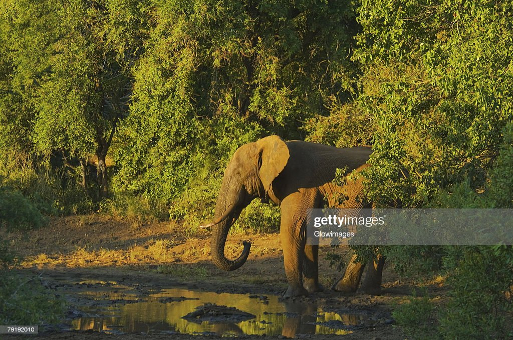 Elephant in a forest, Makalali Game Reserve, South Africa : Stock Photo