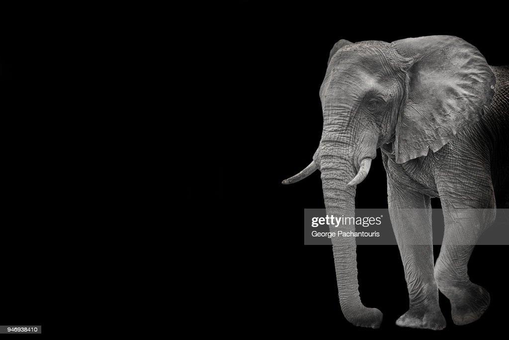 Elephant in black background : Stock Photo