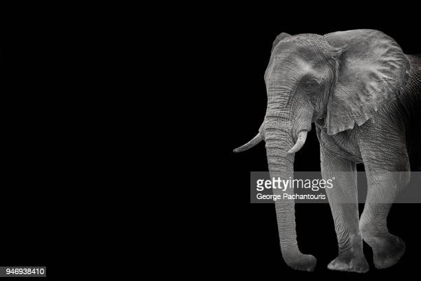 Elephant in black background