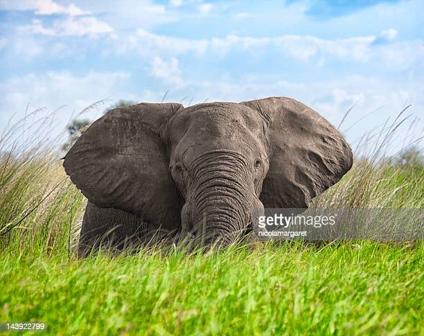 elephant in botswana - elephant face stock photos and pictures