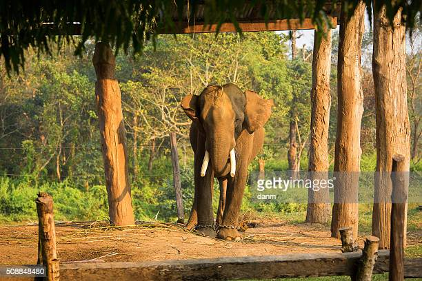 elephant in chain - feet torture stock pictures, royalty-free photos & images