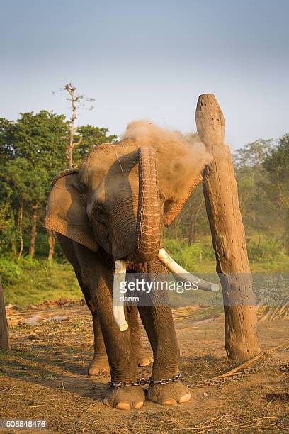 elephant in chain playing with dust - feet torture stock pictures, royalty-free photos & images
